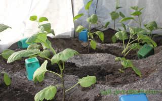 О выращивании баклажанов на Урале в открытом грунте и теплице: борьба с вредителями