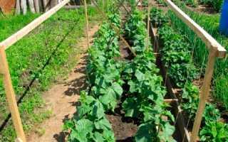 Все об уходе за огурцами: посев, правильная высадка, окучивание культуры