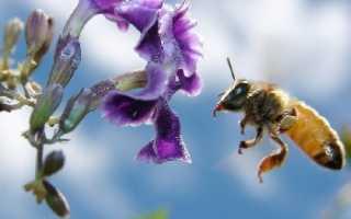 На какое расстояние могут летать пчелы, как перелетают с цветка на цветок