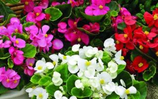 Все о цветке бегония: как выглядит на клумбе (описание), полезные свойства