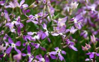 Как посадить и вырастить из семян маттиолу двурогую: когда сажать, условия