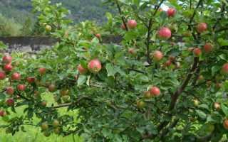 О яблоне Вишневое: описание и характеристики сорта, уход и выращивание