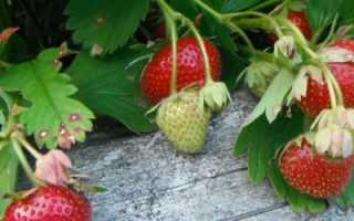 О клубнике Дарселект: описание сорта, агротехника посадки и выращивания