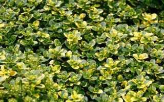 Тимьян лимонный (чабрец): характеристики, посадка, уход, выращивание