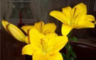 Средство для лилий в воду (как сохранить срезанные лилии в вазе надолго)