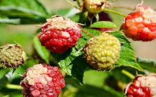 О болезнях малины: описание признаков заболеваний и методов лечения