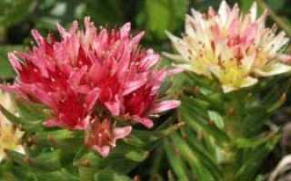 О траве красная щетка: как выглядит, где растет, полезные свойства, применение