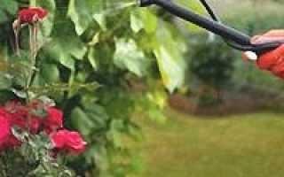О вредителях роз: как бороться, что делать, чем обработать и опрыскать