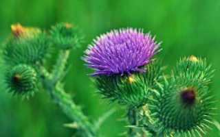 О траве чертополох: как выглядит, полезные свойства, где применяется