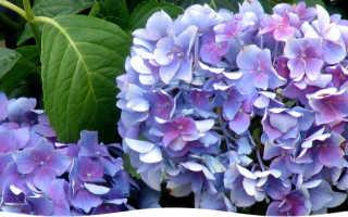 Как посадить розовую гортензию в саду: как ухаживать, условия для цветения