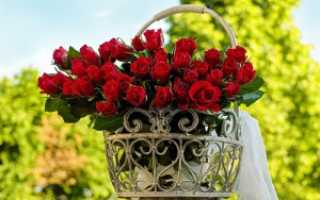 О розе Тантау: описание и характеристики сорта, выращивание кустарниковой розы