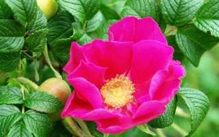 Превращение розы в шиповник: что делать, если роза перерождается, как обрезать
