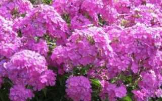 Подкормка флоксов — чем удобрять растение перед и во время цветения