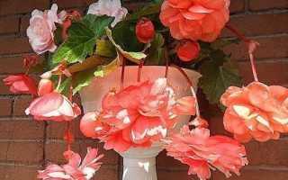 Почему не цветет и как заставить цвести бегонию в домашних условиях