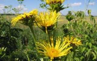 О траве девясил: как выглядит, полезные свойства, где применяется