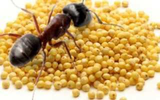 Как с помощью пшена бороться с садовыми муравьями: пошаговая инструкция