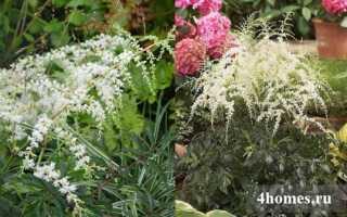 О видах астильбы: описание разновидностей высоких и низкорослых растений