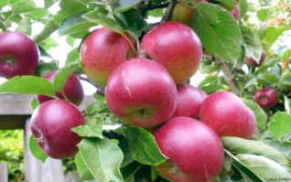 О яблоне Легенда, характеристики, как правильно сажать, особенности опыления