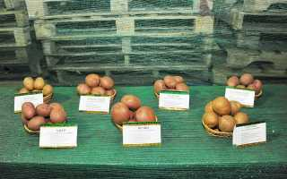 Картофель Горняк: описание семенного сорта картофеля, характеристики, агротехника