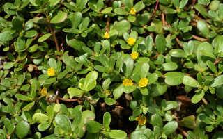 Как бороться с портулаком огородным: описание травы, свойства, как избавиться