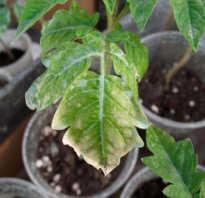Болезни рассады помидоров: желтые пятна, плесень земли, пупырышки на листьях
