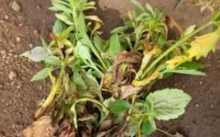 О болезнях астр и борьбе с вредителями растения (что делать, чем обработать)