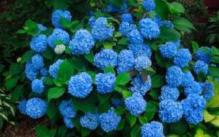 Чем поливать гортензию, чтобы она изменяла цвет: особенности полива гортензии