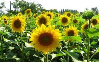 О выращивании подсолнуха в открытом грунте: агротехника, уход, полив