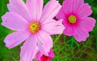 Все о космее: внешний вид цветка, ядовитая или нет, лучшие сорта для выращивания