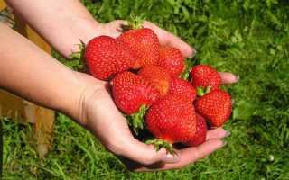 О сорте клубники Альбион: описание, агротехника выращивания, как ухаживать