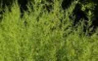 О траве полынь: как выглядит, где растет, полезные свойства, применение