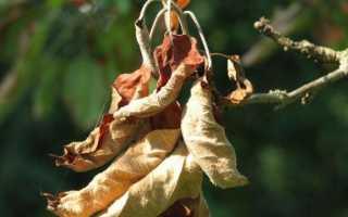 Почему на яблоне мелкие листья, бледнозеленые и плохо развиваются