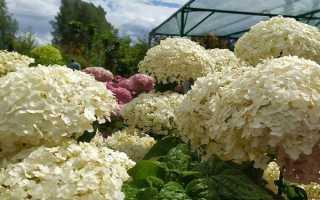 О сорте гортензии Инкредибл древовидная: описание, как посадить и ухаживать