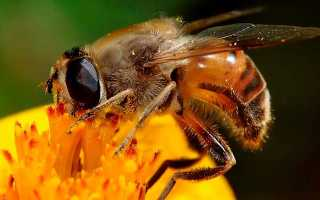 Кто такие трутни: самцы в пчелиной семье, как выглядит пчелиный трутень