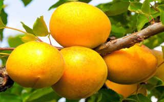 Об абрикосе Кичигинский: описание и характеристики сорта, посадка, уход