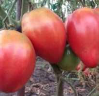 Абаканский розовый: описание сорта томата, характеристики помидоров