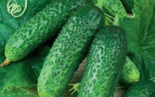 Об огурце Зятек: описание сорта, характеристики, технология выращивания