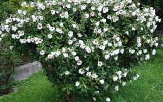 О гибискусе китайском белом: описание сорта, как посадить и ухаживать