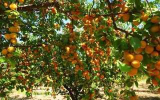 О выращивании абрикоса в Подмосковье: как правильно сажать и ухаживать