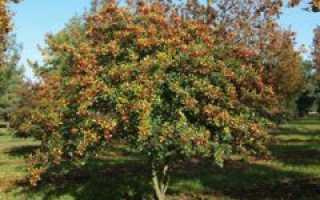 О сорте боярышника Кроваво-красный: описание, внешний вид растения