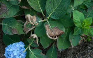Сохнет гортензия: причины, как реанимировать растение, что делать если вянет