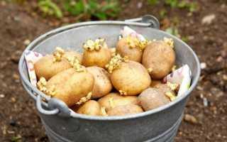 Обработка картофеля перед посадкой: чем и как правильно обрабатывать перед посадкой