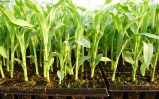 О проращивании кукурузы в домашних условиях: что нужно, чтобы прорастить быстро