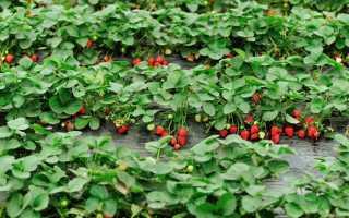 Подкормка клубники йодом во время цветения, полив сывороткой, обработка зеленкой