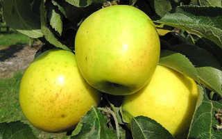 О яблоне колоновидной Малюха: описание и характеристики сорта, посадка и уход