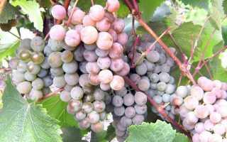 Ультраранние сорта винограда, самые ранние сорта, белый сверхранний виноград