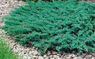 О можжевельнике горизонтальном Блю Чип: описание сорта, как посадить и ухаживать