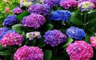 Удобрение гортензии для пышного цветения: чем подкормить и полить весной и летом