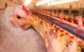 Все о бройлерах и бройлерных цыплятах (какая из хороших пород самая лучшая)