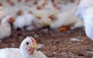 О бройлерах и цыплятах: что делать, если плохо едят и набирают вес, не растут